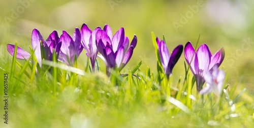 lila krokusse / Purple Crocuses