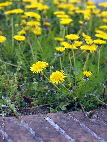 Fotografie, Obraz  Dandelion (Taraxacum officinale) flowering in a field.