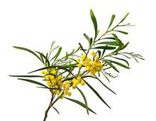 Close Up Of Acacia Saligna