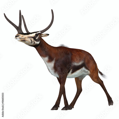 Obraz na plátně  Kyptoceras on White - Kyptoceras was a antelope type mammal that lived in North America during the Miocene to Pliocene Periods