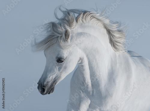 Fototapeta Purebred white arabian horse obraz