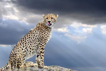 FototapetaWild african cheetah