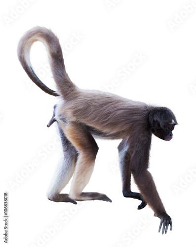 In de dag Aap long-haired spider monkey