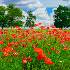 Fototapeta red poppies on green field