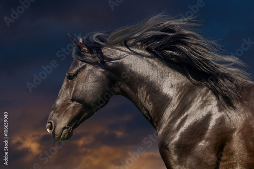 Black stallion in motion portrait isolated against sunset sky Canvas Print