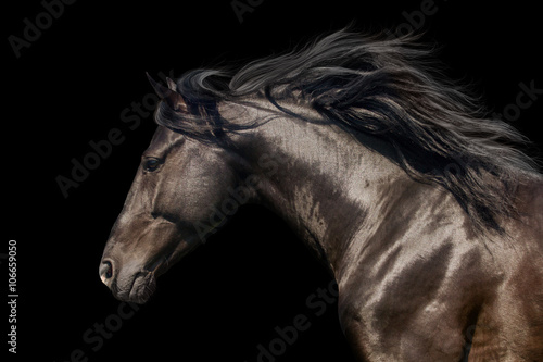 Fototapeta Black stallion in motion portrait isolated on black background obraz