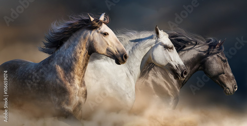 Fototapeta Horses with long mane portrait run gallop in desert dust obraz