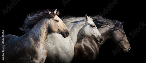 Papel de parede Horse herd portrait run gallop isolated on black background