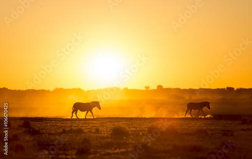 Spoed Foto op Canvas Kameel Zebra Sunset Botswana