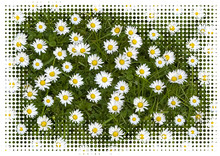 Daisies In A Meadow Close Up W...