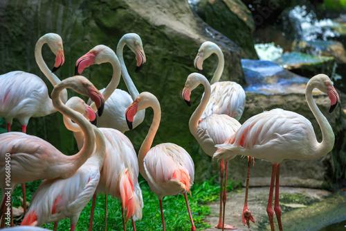 Flamingo Phoenicopterus in Kuala Lumpur, KL Bird Park, Malaysia Poster