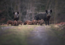 Sounder Of Wild Boar (Sus Scof...