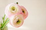 Bouquet of ranunculus in vase in white, pink and beige pastel colors.