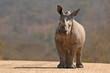 canvas print picture - A White Rhinoceros calf (Ceratotherium simum simum) in Kruger National Park, South Africa
