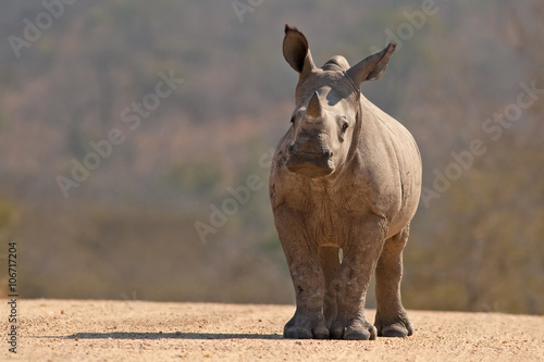 Photo A White Rhinoceros calf (Ceratotherium simum simum) in Kruger National Park, Sou