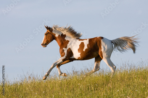 Foto op Canvas Paarden Nice young appaloosa horse running