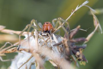 Ammen-Dornfinger Spinne (Cheiracanthium punctorium)