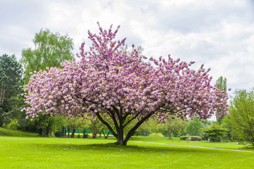 Beautiful sakura tree in the park