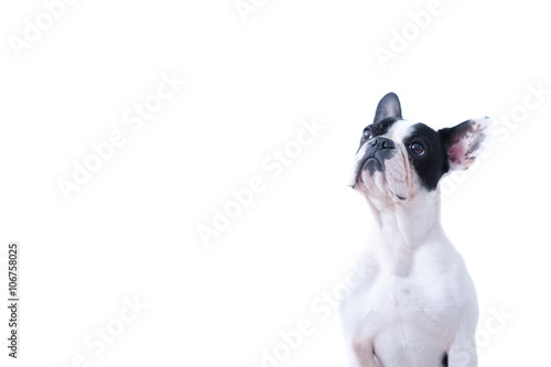 Serious Frenchie sitting on white background