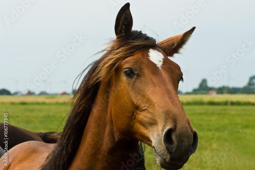 Canvas Prints Horses Pferde auf einer Weide in Schleswig-Holstein