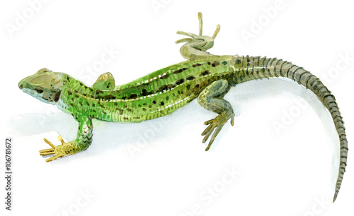Photo  Green lizard