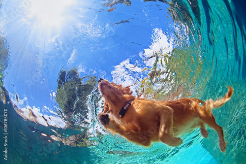 Poster Chien Underwater photo of golden labrador retriever puppy in outdoor swimming pool play with fun - jumping and diving deep down. Activities and games with family pets and popular dog on summer holiday.