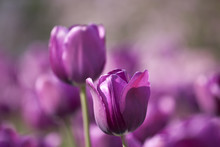 Meadow With Bright Purple Tulips Closeup