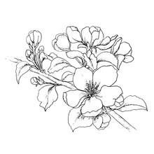 Hand Drawn Branch Of Cherry Blossom