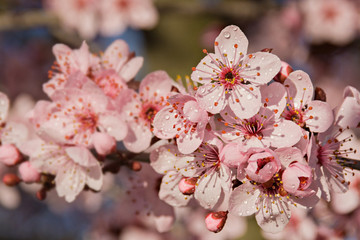 Obraz na Szkle Do sypialni Flowers of Prunus cerasifera after rain