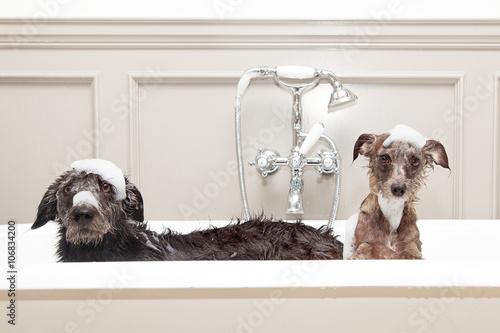 Fotografiet  Two funny wet dogs in bathtub