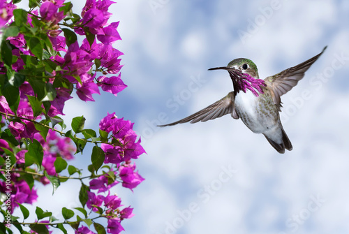 Ingelijste posters Vogel Male Ruby-throated Hummingbird over blue sky