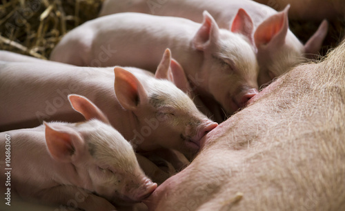 Foto Piglets feeding from mother pig