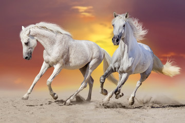 Two beautiful  white stallion run in desert against sunset sky