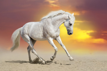 Beautiful  white stallion run in desert against sunset sky