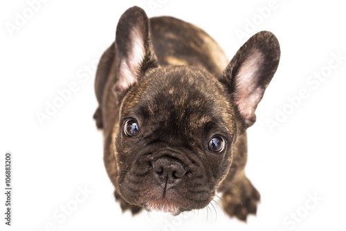 Foto op Plexiglas Franse bulldog French bulldog with white background