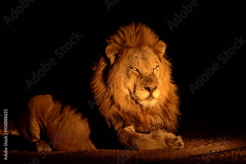 Staande foto Leeuw Handsome male lion at night