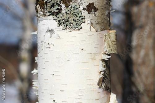 Cadres-photo bureau Bosquet de bouleaux Фон коры березы