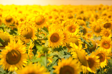 FototapetaSunflowers Field