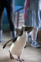Young Girl And Mother Following Penguin At Zoo
