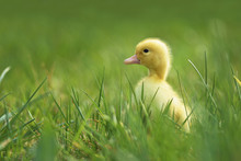 Little Duck In The Grass