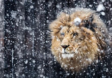 Portrait Lion In The Snow