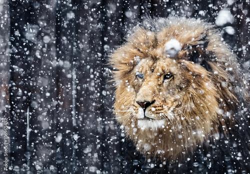 Foto op Plexiglas Leeuw Portrait lion in the snow