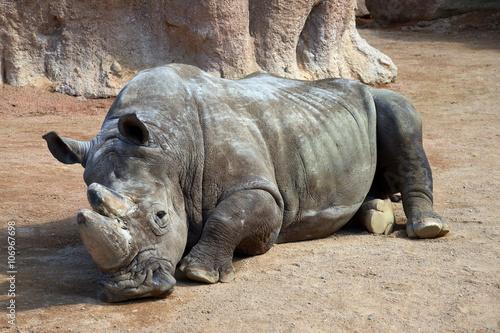 un grosso rinoceronte si riposa sdraiato per terra Slika na platnu