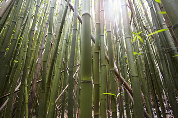 Detail of bamboo stems, Hana, Maui, Hawaii, USA