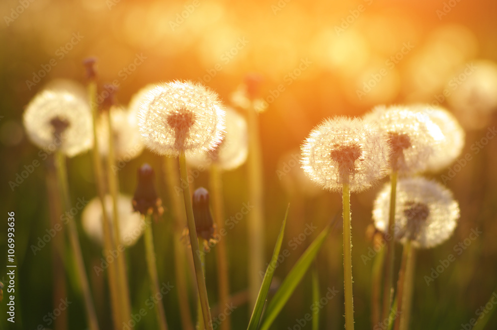 Fototapety, obrazy: Mlecze na słońcu