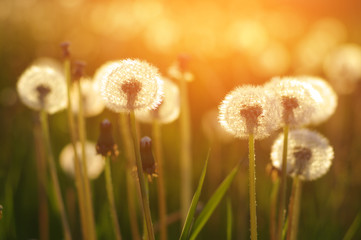 Fototapeta Wieloczęściowe dandelions in the sun