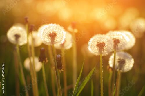 Obraz Mlecze na słońcu - fototapety do salonu