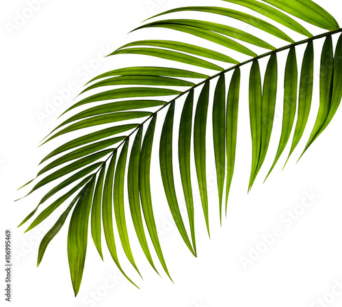 green leaf of palm tree on white background Wall mural
