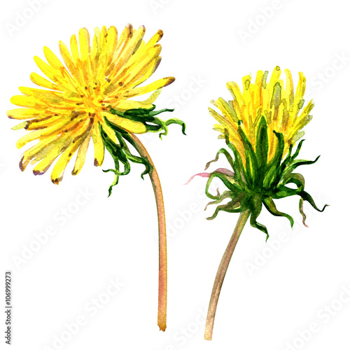 Fotografie, Obraz  Beautiful yellow flower dandelion isolated, watercolor illustration