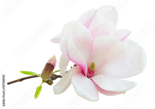 Photo sur Toile Magnolia Blossoming pink magnolia Flowers